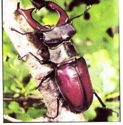 Lucanus cervus - Le Lucane cerf-volant (M)