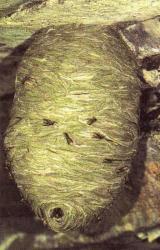 Dolichovespula saxonica, le nid Photo AMBHN°12548