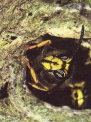 Dolichovespula saxonica, sentinelle montant la garde Photo AMBHN° 12549