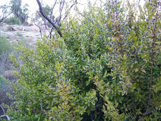 Myrte rouge for Myrte arbuste