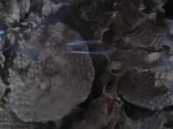 Cellules de Nid de Guêpes D. saxonica.Trouvé par les Pompiers de Broglie en été 2003 à St Aubin du Thenney. Coll. A.M.Bea V-2008