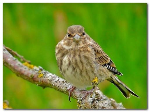 livre lézards canaries