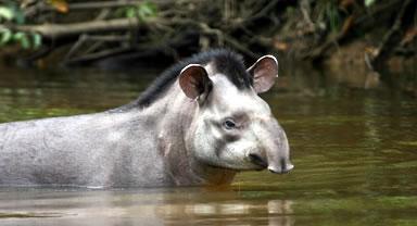 Répartition tapir des montagnes tapirus pinchaque zoologie présentation espèce découverte Roulin