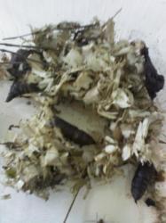 Deilephila elpenor nid avec des chrysalides