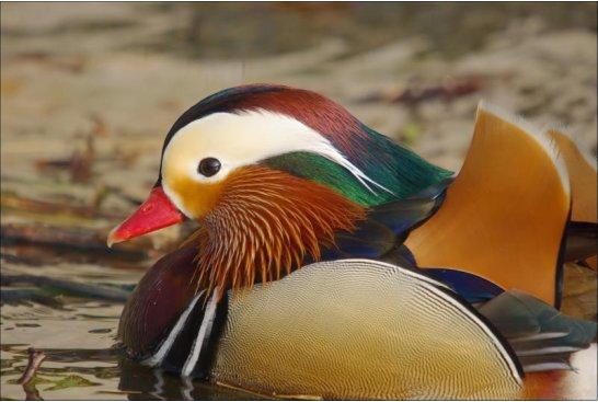 canard mandarin wikipedia