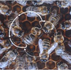 Une abeille effectuantla danse frétillante