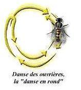 schéma d'une abeille effectuant la danse en rond