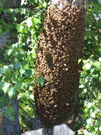 Ceci est un essaim d'abeilles en grappe