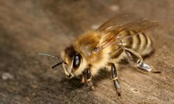 Apis melifera (image prise sur http://fr.academic.ru/pictures/frwiki/65/Apis_mellifera_carnica_worker_hive_entrance_3.jpg)