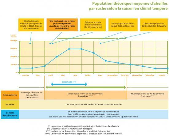 Evolution du nombre d'abeilles dans la ruche au cours de la saison (graphique pris sur http://www.jacheres-apicoles.fr/index/chap-article/rubrique-39)