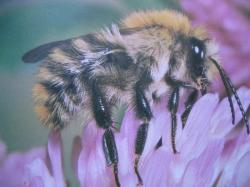 Bourdons Photo.A.M.B Le Moulin de Prey. Bombus (=agrorum) pascuorum Famille Apidae, Sous-famille Bombinae