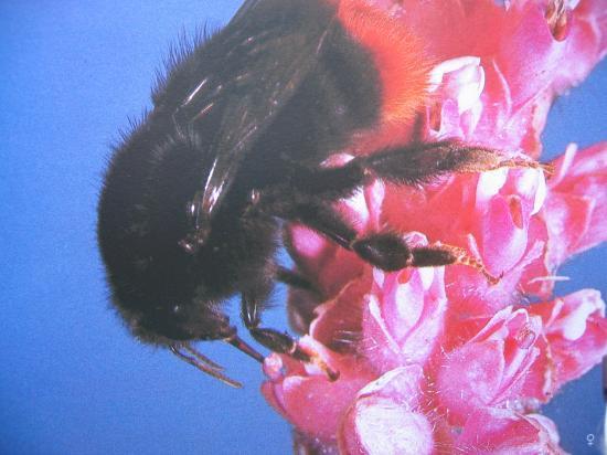 Bourdons Photo.A.M.B Le Moulin de Prey. Bombus lapidarius Bourdon des pierres. Famille des Apidae, Sous-famille Bombinae