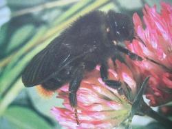 Bourdons Photo A.M.B. Le Moulin de Prey.Psithyrus rupestris Famille des Apidae, Sous-famille des Bombinae