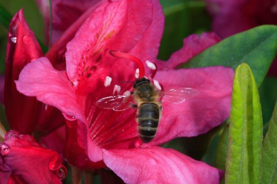 Une abeille butinant