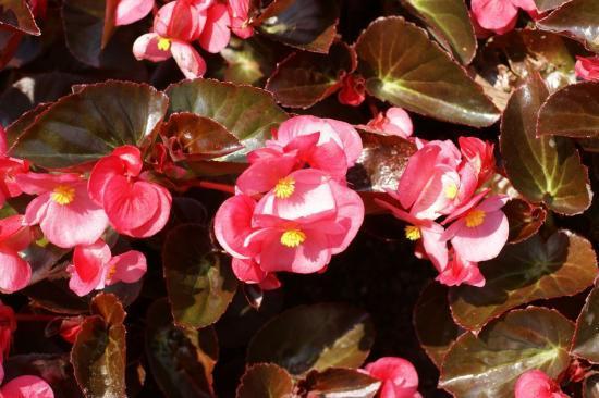 plantes annuelles et molles