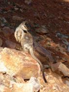 Wallabi dans les environs d'Alice Springs