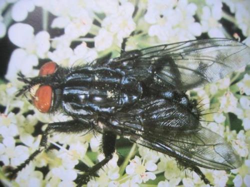 Sarcophaga carnaria (Famille des Sarcophagidae)