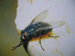 Calliphora vicina Mouche bleue (Famille des Calliphoridae)