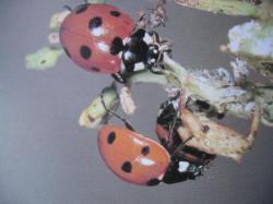 Imago de Coccinella septempunctata