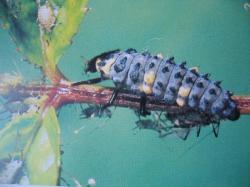 Larva de Coccinella septempunctata