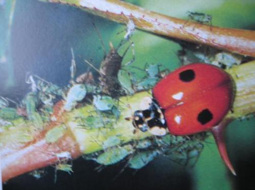 Adalia bipunctata (forme rouge)