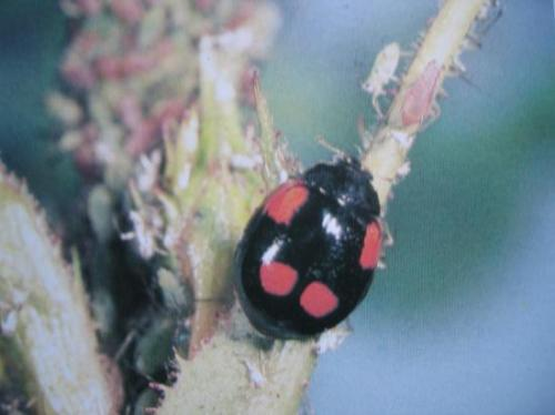 Adalia bipunctata (forme noire)