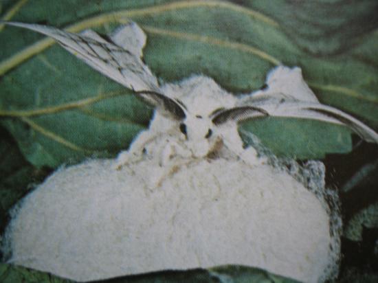 Bombyx mori Le Bombyx du Murier sur son cocon
