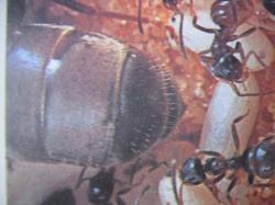 Lasius niger (Fourmi noire) reine et ouvrières