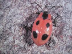 Endomychus coccineus Famille de Endomychidae