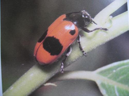 Clytra laeviuscula Famille des Chrysomelidae