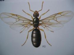 Formicidae Lasius flavus la reine
