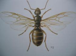Ordre des Formicidae. Reine de Lasius niger Photo A.M.B.le Moulin de Prey