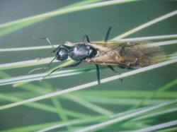Formicidae mâle
