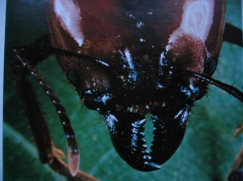 Ordre des Formicidae