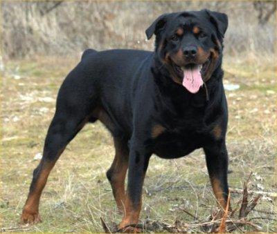 Feli's Créa !! Rottweiler1