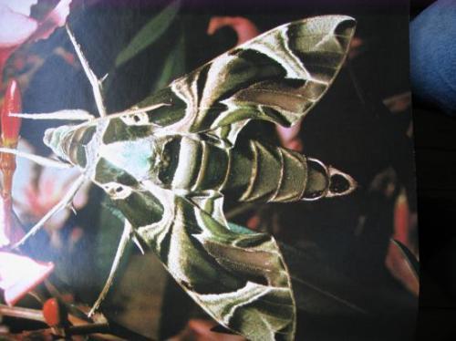 Daphnis nerii Sphinx du Laurier rose