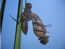 Cordulia aenea sortant de sa nymphe