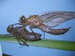 Cordulia aenea sortie de sa nymphe