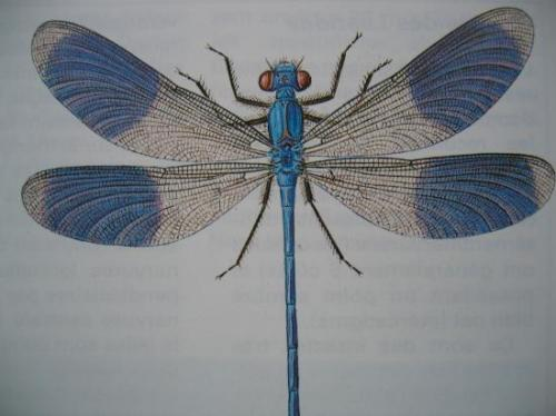 Calopteryx splendens éclatant Mâle