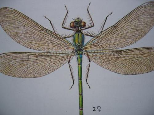 Caloptéryx splendens Caloptéryx éclatant femelle