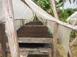 Chigorodo - Finca pasatiempo, pimenteria