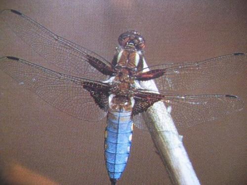 Libellula depressa (M) Libellule deprimée.Odonata Photo A.M.B Le Moulin de Prey 1997