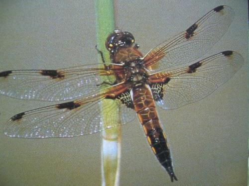 Libellula quadrimaculata La Libellule à 4 taches. Odonata Photo A.M.B Le Moulin de Prey 1997