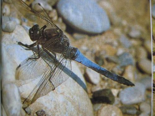 Orthetrum cancellatum Odonata Photo A.M.B Le Moulin de Prey 1997