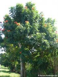 Tulipier du Gabon arbre