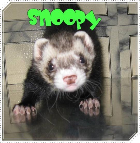Snoopy - Acheter un furet ...
