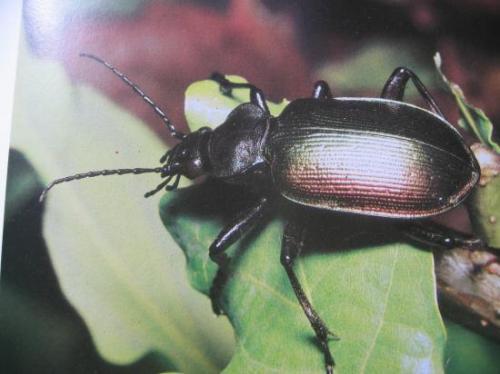 Calosoma sycophanta un des principaux prédateurs des Processionnaires Photo A.M.B 1995