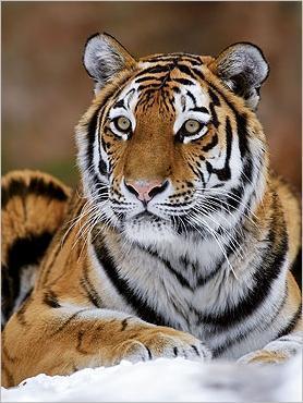 le tigre de sib233rie