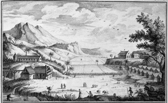 Une plantation de canne à sucre