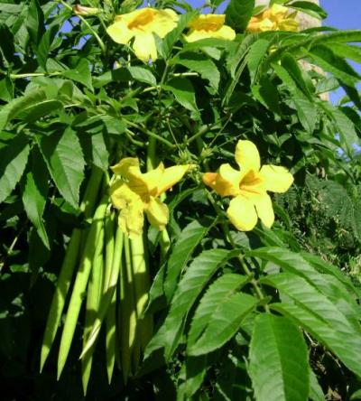 Tecoma stans, Fleurs, Feuilles et Gousses
